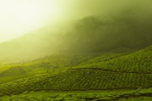 tea growing in beautiful light